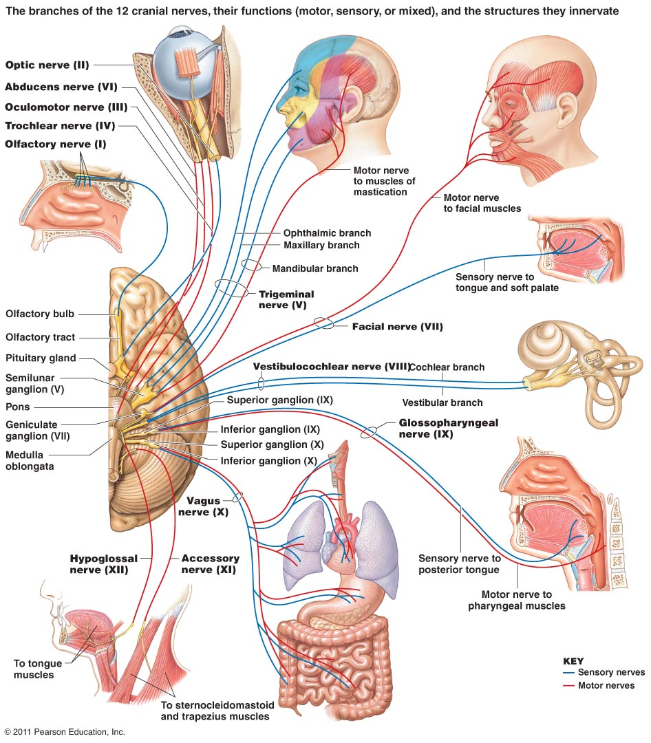 The  Cranial Nerves - Sensory and Motor functions